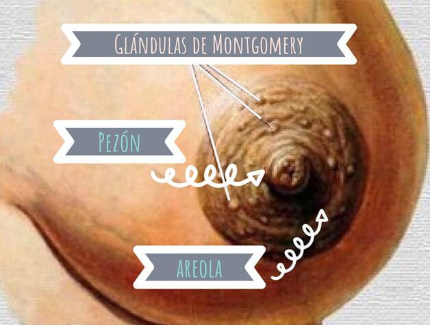 Glándulas de Montgomery